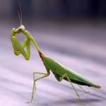 Praying Mantis - Focused Animal Spirit